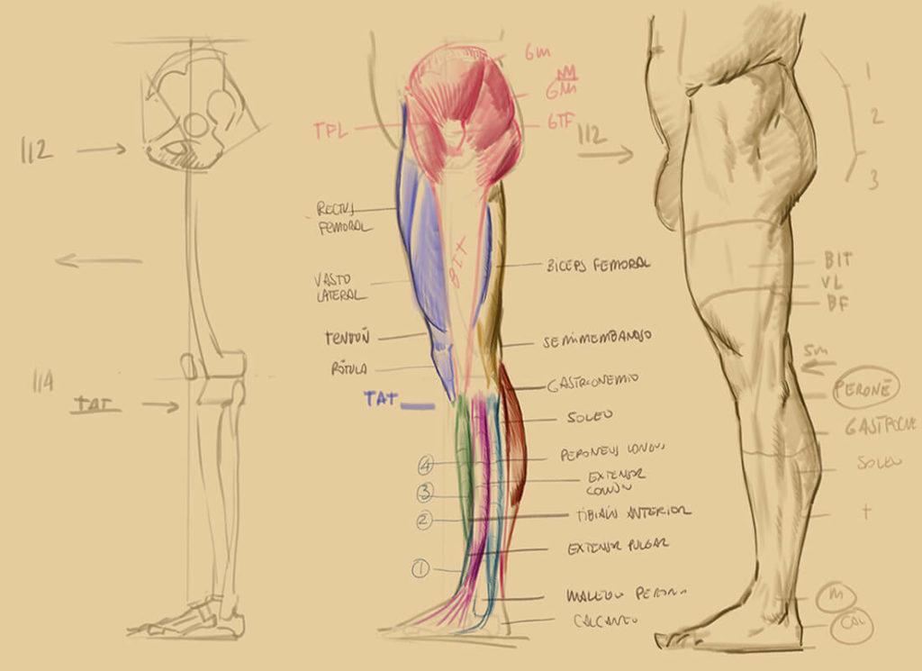 Dibujo, estudio estructural de la pierna. Diego Catalán, profesor de dibujo y pintura realista