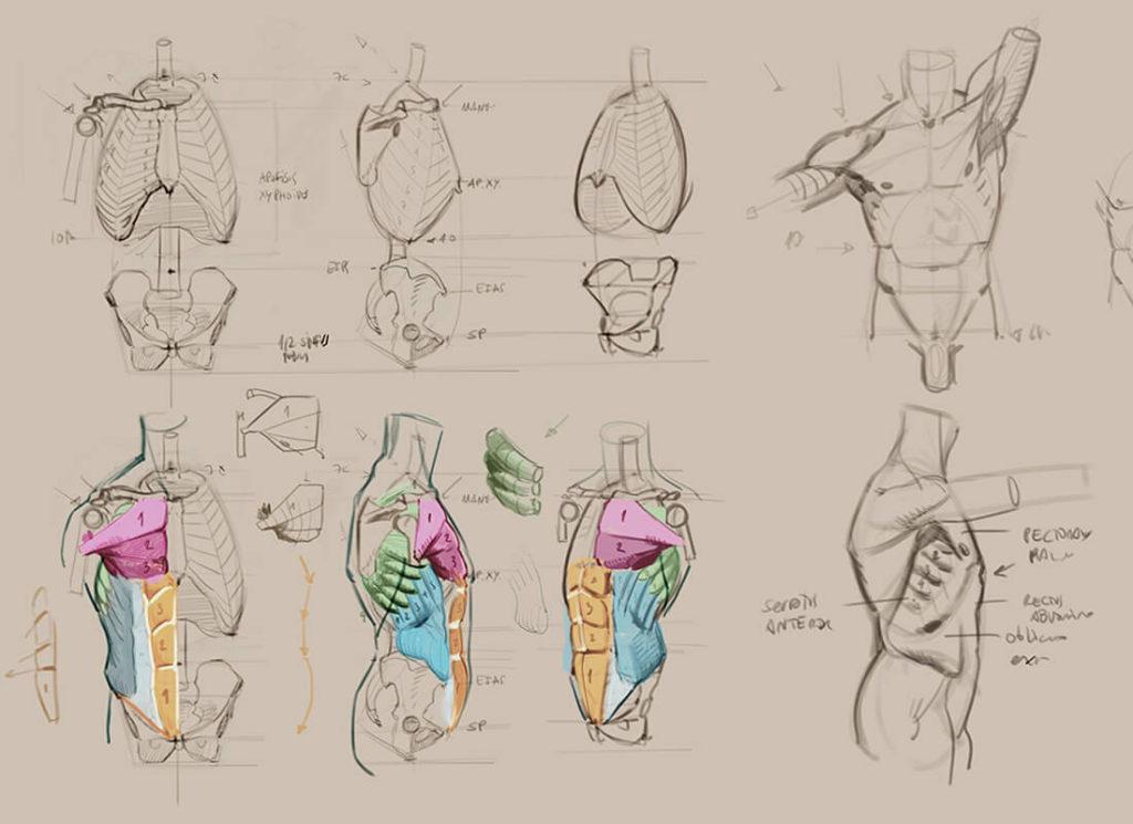 Dibujo, estudio de estructuras óseas y músculos. Diego Catalán, profesor de dibujo y pintura realista
