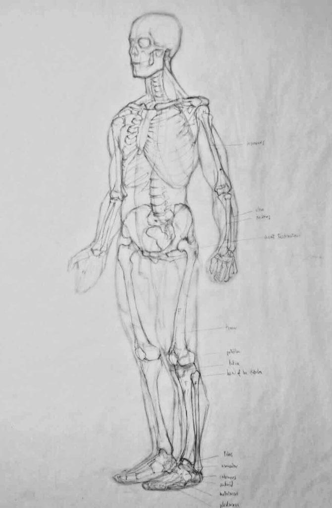 Dibujo Estructural Huesos Figura Anatomia | Diego Catalan Amilivia Dibujante Pintor